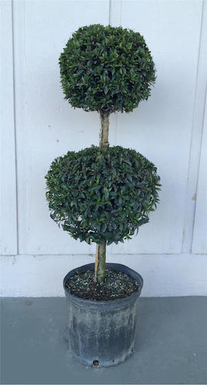 Eugenia Globulus Ball Topiary (Zone 9 through 11)