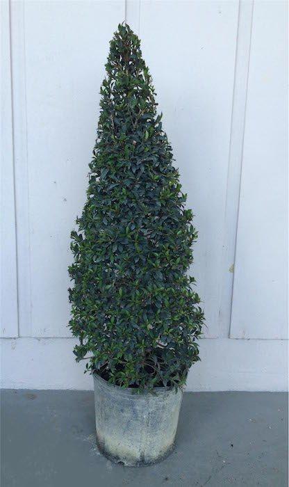 Eugenia Topiary Eugenia Globulus Cone Shape Topiary Topiary Tree