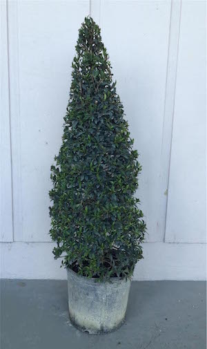 Eugenia Globulus Cone Topiary (Zone 9 through 11)