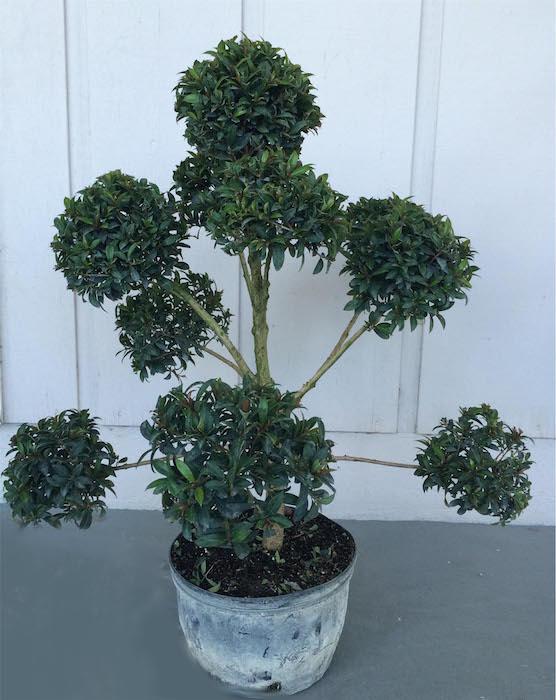 Live Topiary Part - 42: Eugenia Globulus Pom Pon Topiary (Zone 9 Through 11)