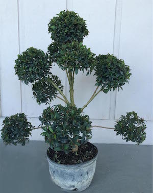 Eugenia Globulus Pom Pon Topiary (Zone 9  through 11)
