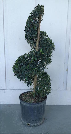 Eugenia Globulus Spiral Topiary (Zone 9 through 11)