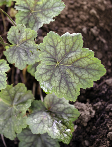 Heuchera americana red leaf form