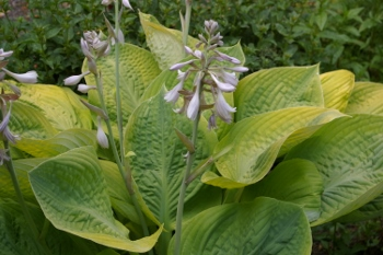 Hosta  Golden Shimmer