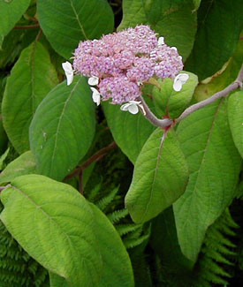 Hydrangea aspera var and  robusta
