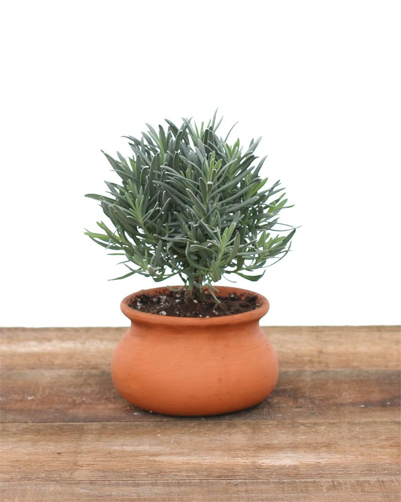 Live Topiary Part - 16: 581, Lavender Live Topiary Plants