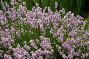 Lavandula  Coconut Ice
