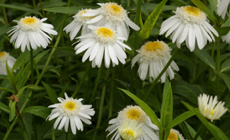 Leucanthemum  Thomas Killen  ( T and E and  Killen )