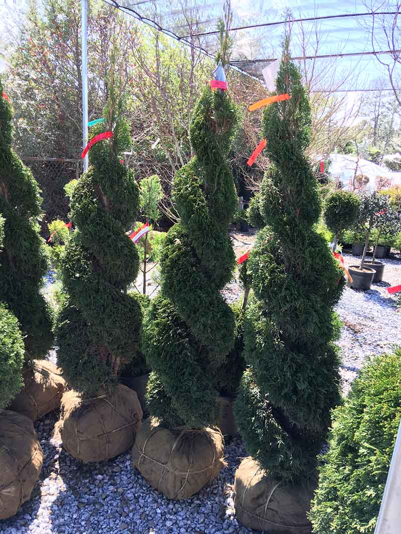 Double Spiral Thuja Live Topiary 6 - 7 Foot Tall
