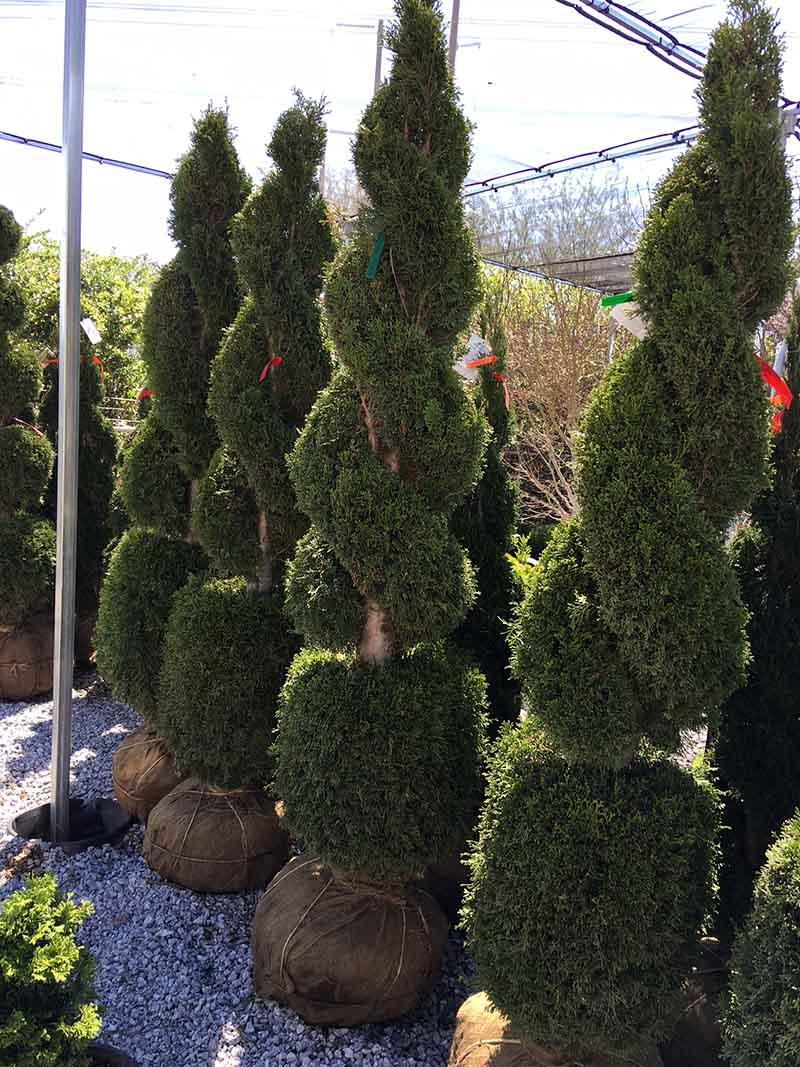 Double Spiral Thuja With Ball Live Topiary 6 7 Foot Tall