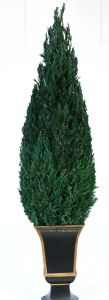 Preserved Cone Topiary 30 inch in Juniper Foliage