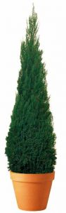 Preserved Cone Topiary 40 inch in Juniper Foliage