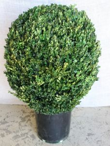 20 inch   Boxwood Globe Topiary