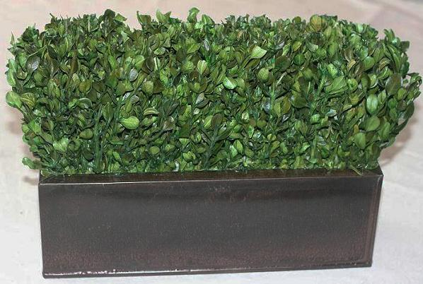 "14"" Boxwood Hedge"