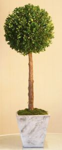 36 inch   Lolly Pop Boxwood on a stem Topiary