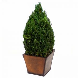 Table Top Cone in Juniper Foliage 18 inches