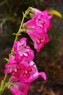 Penstemon  Aurora