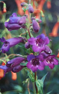 Penstemon  Blue Midnight