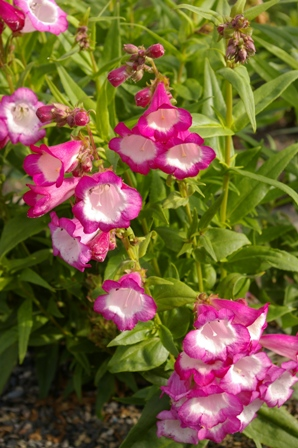 Penstemon  Cerise Kissed