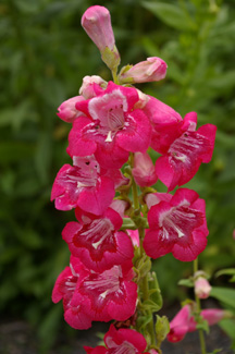 Penstemon  Coral Flair