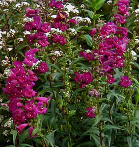 Penstemon  Enor