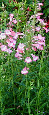 Penstemon  Garden Star