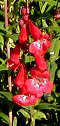 Penstemon  Joy