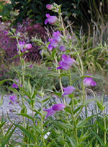 Penstemon  Papal Purple