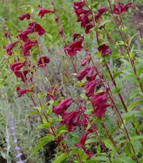 Penstemon  Purple Giant