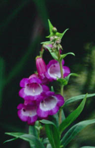 Penstemon  Purple Passion
