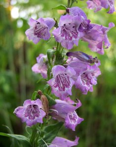 Penstemon  Purple Tiger
