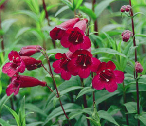 Penstemon  Rich Ruby