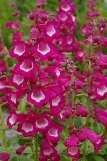 Penstemon  Rose Kissed