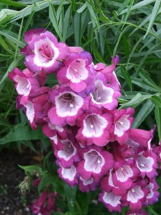 Penstemon  Wine Kissed
