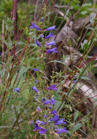 Penstemon heterophyllus  Blue Springs