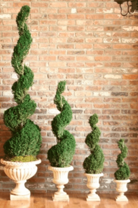 Preserved Classic Spiral Topiary 72""
