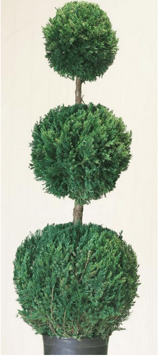 Live Preserved Triple Ball Topiary 60 inches Tall Topiary