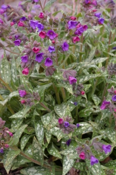Pulmonaria  Early Bird