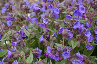 Pulmonaria angustifolia ssp and  azurea