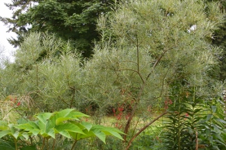 Salix elaeagnos ssp and  angustifolia