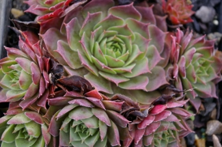 Sempervivum  El Toro