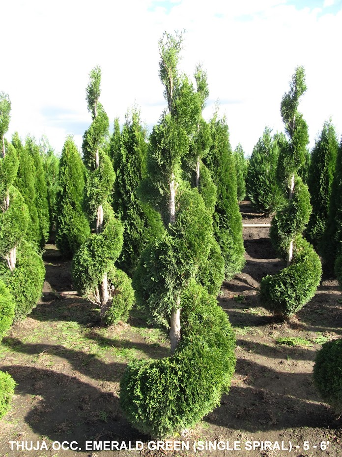 thuja occ emerald green spiral topiary 5 to 6 feet tall. Black Bedroom Furniture Sets. Home Design Ideas