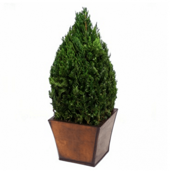 Live Topiary Part - 46: Table Top Cone