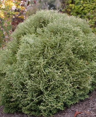 Thuja occidentalis  Hetz Midget