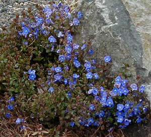 Veronica umbrosa  Georgia Blue