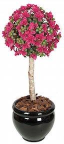 3 and 5 Foot Azalea Ball Topiary