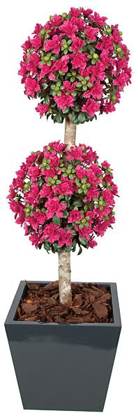 5 Foot Azalea 2 Ball Topiary