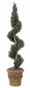 6 Foot Podocarpus Spiral Topiary