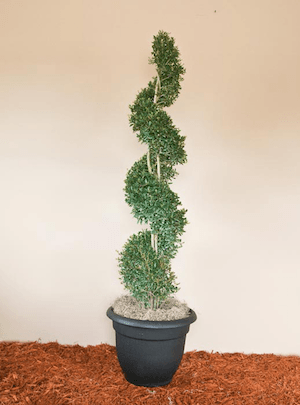 Yaupon Holly Spiral Topiary (7 through 11)