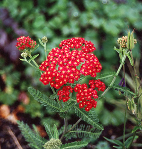 Achillea  Paprika-Joy Creek Select